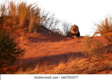 Isolated on white background, Kalahari lion, Panthera leo vernayi, laing on red dune. Big lion male with black mane in typical environment of Kalahari desert. Kgalagadi transfrontier park, Botswana