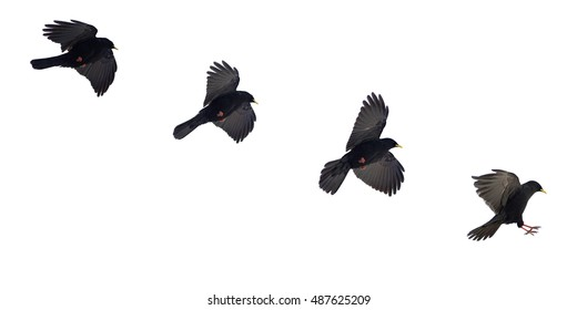 Isolated on white background, landing phase of black Pyrrhocorax graculus, Alpine Chough. High mountainous bird from crow family. Italy, Passo Rolle, Dolomites.