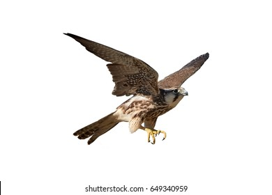 Isolated on white background, Lanner falcon, Falco biarmicus, bird of prey from Kgalagadi. Close up Kalahari raptor. Kgalagadi transfrontier park, Botswana