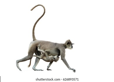 Isolated on white background, mother monkey  with baby,  Gray langur, Semnopithecus entellus, carrying a baby on her stomach. Anuradhapura, Sri Lanka.