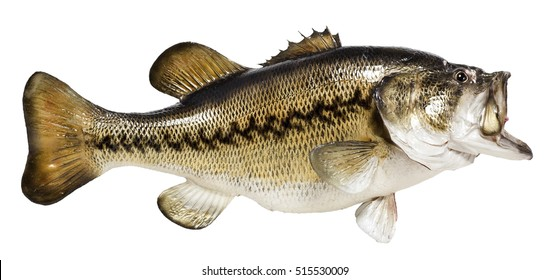 Isolated on white background a mounted largemouth or black bass. Artful taxidermy. Horizontal.