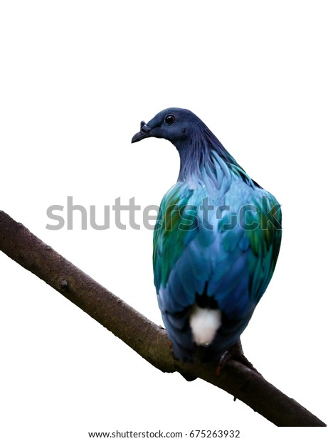 Isolated on white background, Nicobar pigeon, Caloenas nicobarica, blue and violet colored pigeon, CITES bird from Nicobar islands, India. Vertical photo of very colourful dove.