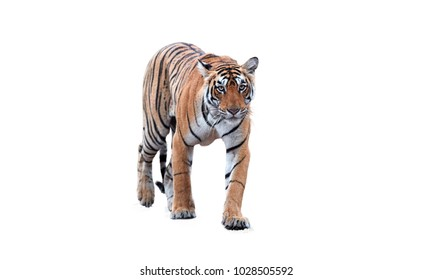 Isolated on white background, portrait of wild Bengal tiger, Panthera tigris. Young tigress, walking and staring directly at camera, wild animal. Ranthambore, India.