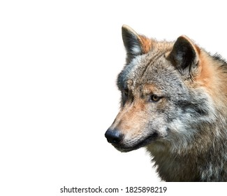 Isolated on white background,  portrait of Eurasian wolf, Canis lupus in autumn, looking directly straight. East Europe.