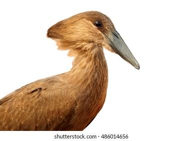 Isolated on white background, portrait of Scopus umbretta, Hamerkop or Hammerhead, african wading bird. Tanzania, Saadani.