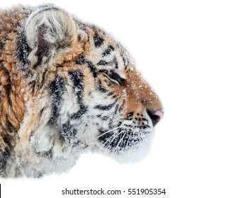 Isolated on white background, portrait of Siberian tiger, Panthera tigris altaica, male with snow in fur.