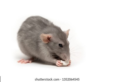 Isolated on white background a rat gnaws a pumpkin seed. Pink ears, black eyes, decorative rat, pet.