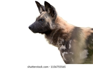 Isolated on white background, side portrait of African Wild Dog, Lycaon pictus. Fixed African Wild Dog focused on prey. African wildlife photography in Moremi, Okavango delta, Botswana.