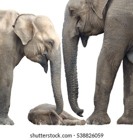 Isolated on white background, Sri Lankan elephant, Elephas maximus maximus, close up, mother and another elephant are protecting new-born elephant, lying on the ground. Yala National park, Sri Lanka.