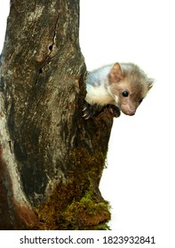 Isolated on white background, Stone Marten, Martes foina, juvenile tiny predator of spruce forest, climbing on old tree.