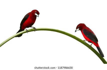 Isolated on white background, two bloody-red colored songbirds, Silver-beaked Tanager, Ramphocelus carbo, pair perched on curved stalk of reed. Montezuma area, Tatama national park, Colombia.