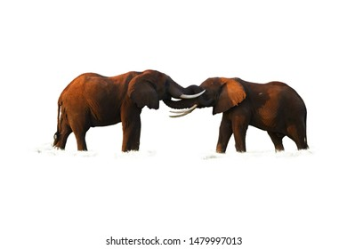 Isolated on white background, two huge african elephants are touching their trunks to each other. Wildlife, Amboseli national park, Kenya.