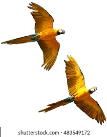 Isolated on white background, two Blue-and-yellow macaws, Ara ararauna, pair of vibrant blue and yellow parrots flying together.