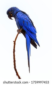 Isolated on white background, vertical view of large blue parrot, Hyacinth macaw, Anodorhynchus hyacinthinus, perched on twig. Vulnerable, threatened Species.