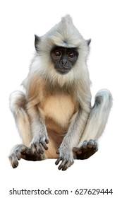 Isolated on white background,  vertical photo of Gray langur, Semnopithecus entellus, close up monkey baby sitting on the brick wall.  Typical scene from world heritage city Anuradhapura, Sri Lanka.