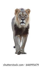 Isolated on white background, vertical photo of Panthera leo vernayi,  Kalahari lion, black mane lion from direct view.