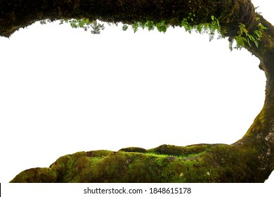 Isolated on white background, view framed by a moss-covered tree trunk. Madeira island, Fanal forest.