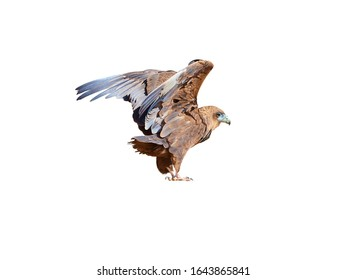 Isolated on white background, wild Bateleur, Terathopius ecaudatus, juvenile, brown colored eagle with outstretched wings.  African wildlife experience, camping in Kgalagadi park, Botswana.