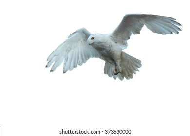 Isolated on white, beautiful Snowy owl Bubo scandiacus, white owl with black spots and bright yellow eyes flying with outstretched wings and tail.. Outstretched wings and tail.