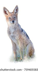 Isolated on white,  Black Backed Jackal, Canis Mesomelas, african canid lit by morning sun staring directly at camera. Kgalagadi park. African wildlife photography in Kalahari, Botswana