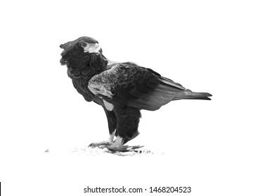 Isolated on white, black and white photo of wild raptor, Bateleur eagle, Terathopius ecaudatus, standing on the road, eating sand grouse bird.  Wildlife photography in Amboseli national park. Kenya.