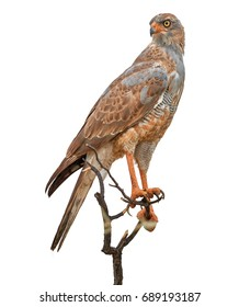 Isolated on white, close up bird of prey, Pale chanting goshawk, Melierax canorus, from Kalahari desert. Colorful raptor, blue-grey bird with orange legs and beak, Kgalagadi, Botswana, Africa
