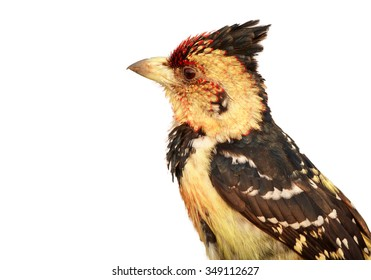 Isolated on white close up portrait of Crested Barbet Trachyphonus vaillantii perched on old root in colorful late evening light.  Chobe river, Botswana