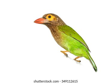 Isolated on white close up vibrant green and brown Brown-headed Barbet Megalaima zeylanica perched on branch.
