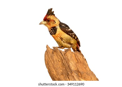 Isolated on white  Crested Barbet Trachyphonus vaillantii perched on old root in colorful late evening light.  Chobe river, Botswana