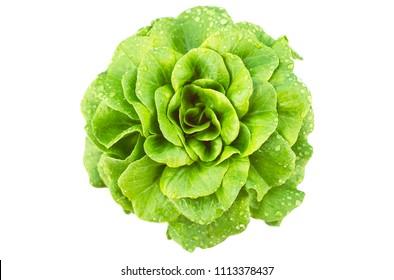 isolated on white green leaf salad of aquino variety from Salanova