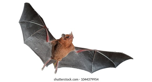 Isolated on white, Orange nectar bat, Lonchophylla robusta,  nocturnal bat  with spread wings. Bat with fast metabolism. Costa Rica.