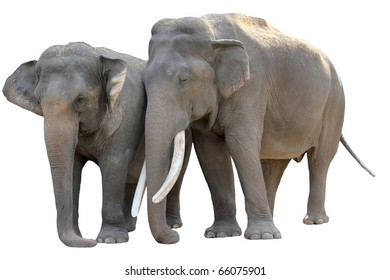 Isolated on white pair of Asian Elephants (Elephas maximus)