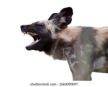 Isolated on white, portrait of African Wild Dog, Lycaon pictus. Painted wolf with opened mouth, showing its teeths.