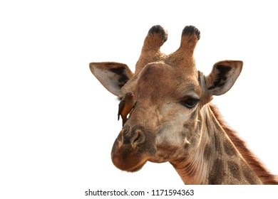 Isolated on white, portrait of Southern Giraffe, Giraffa camelopardalis with Red-billed oxpecker, Buphagus erythrorhynchus,  bird feeding on parasites on giraffe's head. KwaZulu Natal, South Africa.