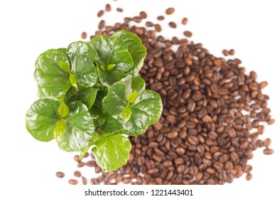 Isolated on white small coffee plant and coffeebeans