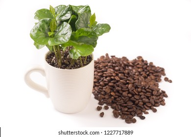 Isolated on white small coffee plant in coffee cup and coffeebeans