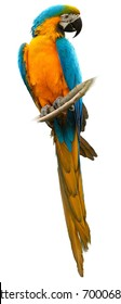 Isolated on white, vertical photo of  Blue-and-yellow macaw, Ara ararauna, big colorful parrot, Pantanal, Brasil.