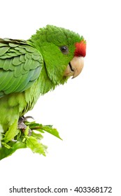 Isolated on white, vertical portrait of green and red Scarlet-fronted Parakeet, Psittacara wagleri perched on hibiscus branch. Wildlife photo of aratinga parrot in Colombian forest.