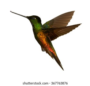 Isolated on white, very colorful hummingbird Golden-bellied Starfrontlet Coeligena bonapartei, hovering in flight. Bright golden and green plumage, outstretched wings. Near endemic,Colombia.