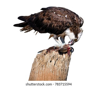 Isolated on white, wild Osprey, Pandion haliaetus, feeding on fish on dead tree trunk against white background. Close up wild raptor, isolated on white background, with the catfish caught.