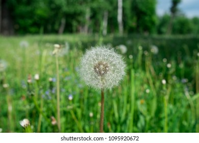isolated one blowball in the green grass