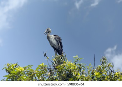 Isolated openbill stork against blue sky in sanctuary in India