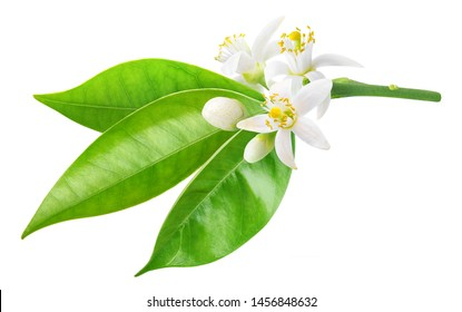 Isolated orange blossom. Branch of orange tree with flowers and leaves isolated on white background with clipping path