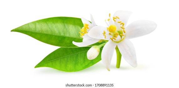 Isolated orange blossoms. Small branchlet of orange tree with leaves and flowers isolated on white background with clipping path