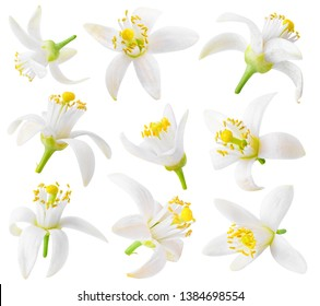Isolated orange flowers. Collection of orange tree blossoms isolated on white background with clipping path