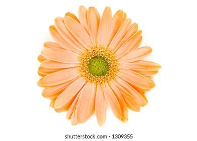 An isolated orange Gerber Daisy