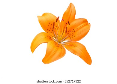 isolated orange Lilly flower on white background