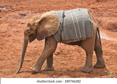 Isolated Orphaned African Elephant Calf in Nairobi orphanage with a blanket