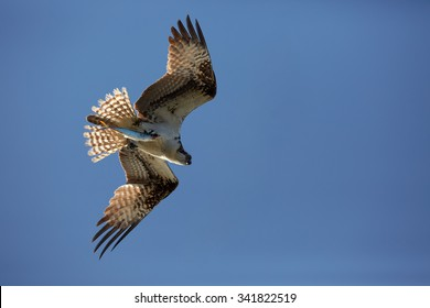 Isolated Osprey, Pandion haliaetus, flying with with catch - fish in its talons, against a blue sky, with outstretched wings and tail, lit by the sun. Close up silhouette of flying raptor with fish.