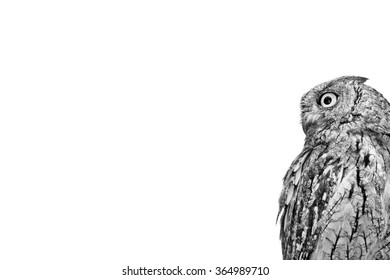 Isolated Owl. Foggy white artistic background. Bird: Eurasian Scops Owl. Otus scops